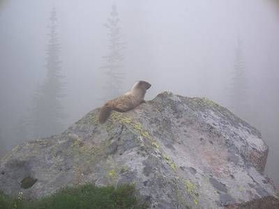 Photograph - Marmot Of The Mist by Mark Bowmer