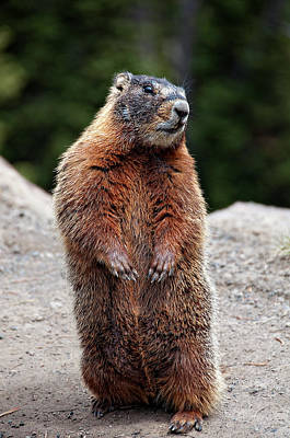 Focus On Foreground Photograph - Marmot Rearing Up On Hind Legs In Yellowstone by Trina Dopp Photography