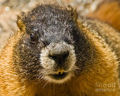 Photograph - Marmot Up Close And Personal by Harry Strharsky