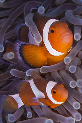 Maroon Clown Fish (premnas Biaculeatus) Amongst Sea Anemone Tentacles, Dumaguete, Negros Island, Philippines Art Print by Oxford Scientific