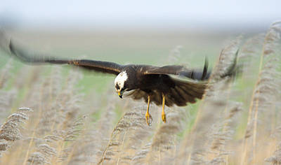 Sheppey Photograph - Marsh Harrier by Duncan Shaw