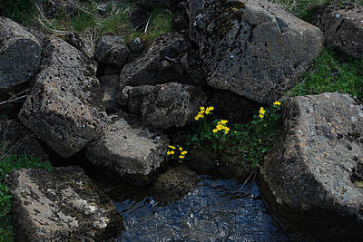Photograph - Marsh Marigolds I by Marilynne Bull