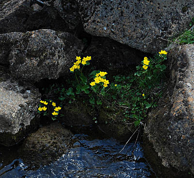 Photograph - Marsh Marigolds IIi by Marilynne Bull