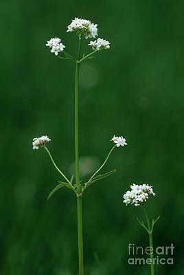 Marsh Valerian Flowers (valerian Dioica) Art Print by Bob Gibbons