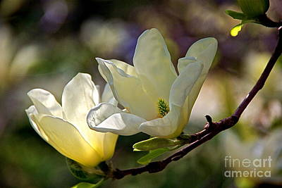 Photograph - Marvelous Magnolia by Byron Varvarigos