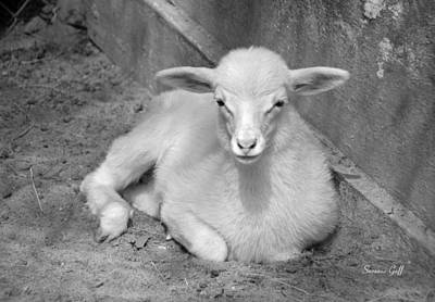 Marys Little Lamb... Or Kid In Black And White Art Print by Suzanne Gaff