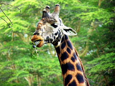 Photograph - Masai Giraffe by Tony Murtagh