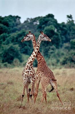Photograph - Masai Giraffes Necking by Greg Dimijian
