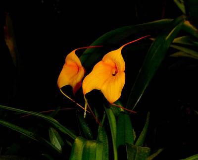 Photograph - Masdevallia Orchids by Chua  ChinLeng