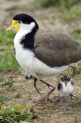 Lapwing Wall Art - Photograph - Masked Lapwing And Chick by Tony Camacho