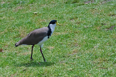 Photograph - Masked Lapwing by Harry Strharsky