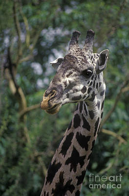 Photograph - Massai Giraffe - Tanzania by Craig Lovell