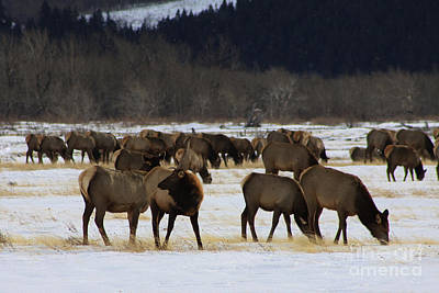 Photograph - Master Of The Herd by Alyce Taylor