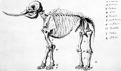 Photograph - Mastodon Skeleton Drawing by Science Source