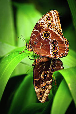 Photograph - Mating Butterflies  by Harry Spitz