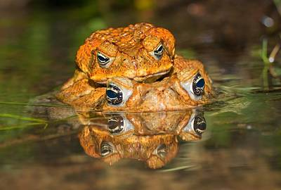 Frog Photograph - Mating Cane Toads by Johan Larson