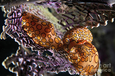 Cowrie Shell Photograph - Mating Flamingo Tongue Cowries by Terry Moore
