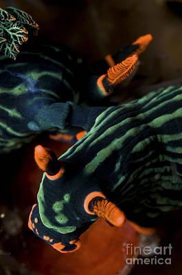 Photograph - Mating Nembrotha Kubaryana Sea Slugs by Mathieu Meur