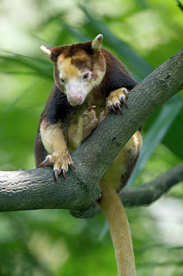 Marsupial Photograph - Matschies Tree Kangaroo Dendrolagus by Cyril Ruoso