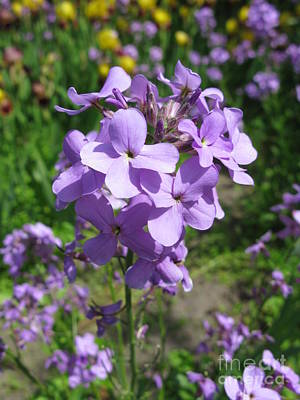 Best Stock Photograph - Matthiola Bicornis. Night-scented Stock.2 by Ausra Huntington nee Paulauskaite