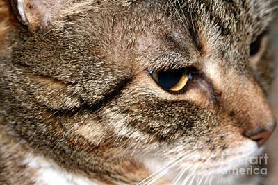 Photograph - Mature Tabby Cat by Susan Stevenson