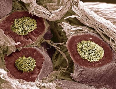 Maturing Sperm, Sem Print by Steve Gschmeissner