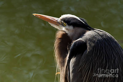 Great Heron Photograph - Maxwell Morning by Beve Brown-Clark Photography