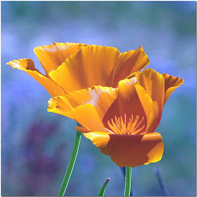 Photograph - May California Poppies by Chris Anderson