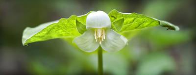 Mayapple Photograph - Mayapple Flower by Brian Mollenkopf