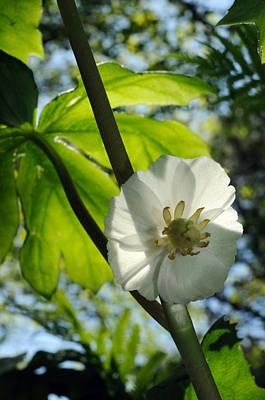 Mayapple Photograph - Mayapple Flower Up Close by Darlyne A. Murawski