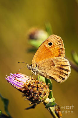 Flying Photograph - Meadow Brown Butterfly  by Elena Elisseeva