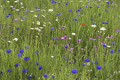 Agrostemma Githago Wall Art - Photograph - Meadow Flowers by Duncan Shaw
