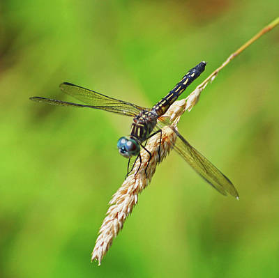Photograph - Meadowhawk by Rodney Campbell