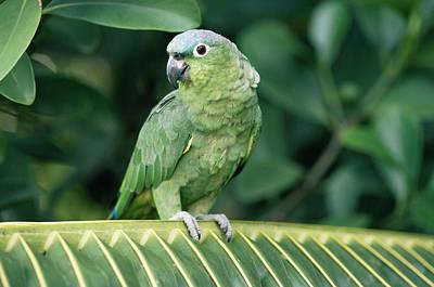 Mealy Parrot Amazona Farinosa Perching Art Print by Michael & Patricia Fogden