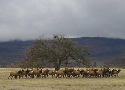 Roaming Elk Photograph - Medford Elk Herd 3 by Cindy Wright