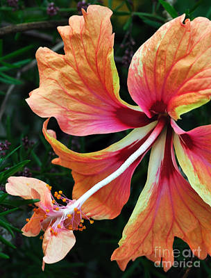 Medley Of Color - Hibiscus Art Print