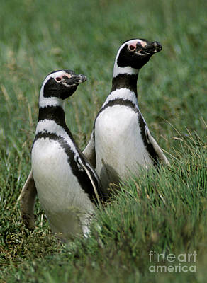 Photograph - Megellanic Penguin Couple - Patagonia by Craig Lovell