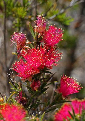 Photograph - Melaleuca 2 by Tony Brown