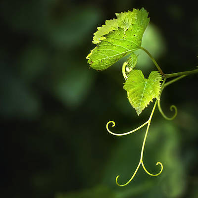 Grape Leaves Photograph - Memories Of Green by Evelina Kremsdorf
