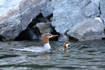 Photograph - Merganser And Duckling by Cathie Douglas