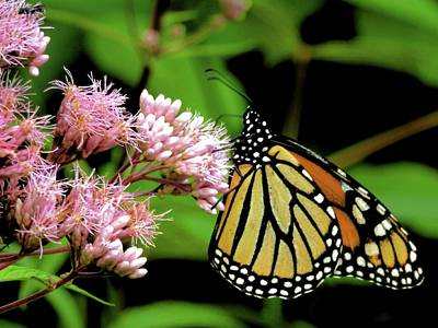 Photograph - Michigan Monarch 1 by Beth Akerman