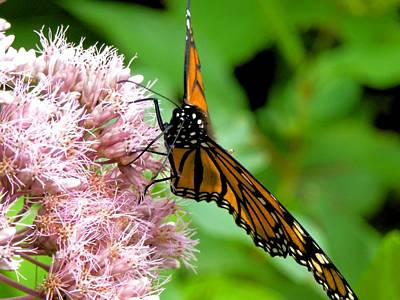 Photograph - Michigan Monarch 2 by Beth Akerman