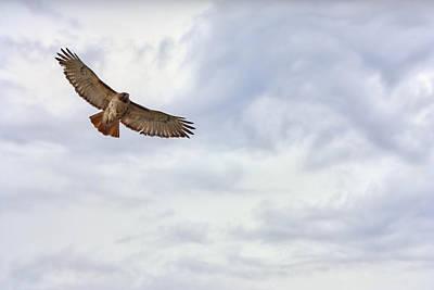 Michigan Red-tailed Hawk Art Print