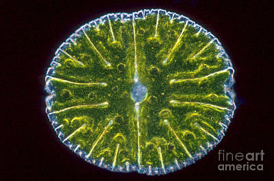Unicellular Alga Photograph - Micrasterias Denticulata by M. I. Walker