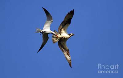 Tern Photograph - Mid-air Attack by Mike  Dawson