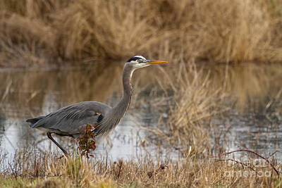 Great Heron Photograph - Mid-day Stroll by Beve Brown-Clark Photography