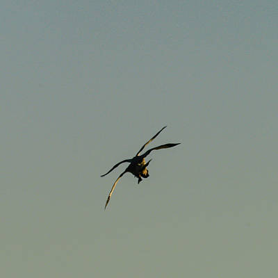 Photograph - Midair Landing 3 by Alistair Lyne
