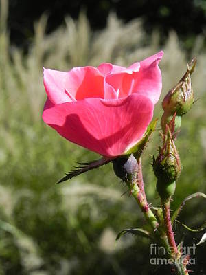 Sandy Owens Photograph - Midday Rose by Sandy Owens