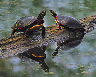 Painted Turtle Wall Art - Photograph - Midland Painted Turtles by Tony Beck
