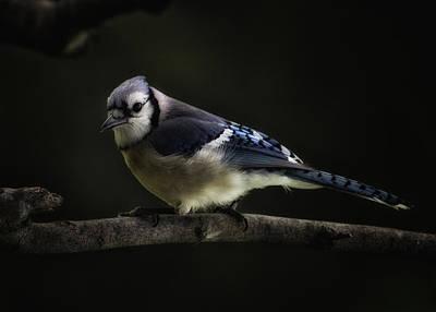 Cyanocitta Cristata Photograph - Midnight Light Blue Jay by Bill Tiepelman